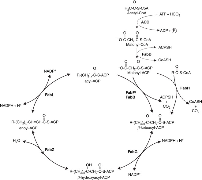 Fatty Acitd Synthesis In Mammals Gif